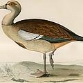 Egyptian Goose by Beverley R. Morris