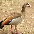 Egyptian Goose by Terry Fleckney