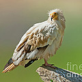 Egyptian Vulture by Anthony Mercieca