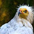 Egyptian Vulture by Ginger Wakem