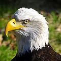 Bald Eagle Head Shot One by David Lee Thompson