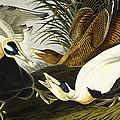 Eider Ducks by John James Audubon