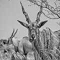 Eland-black And White by Douglas Barnard