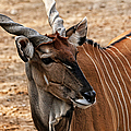 Eland by Judy Vincent