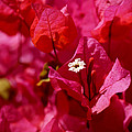 Electric Pink Bougainvillea by Rona Black