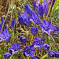 Elegant Brodiaea In Tilden Regional Park-california   by Ruth Hager