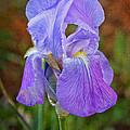 Elegant Iris by Mel Hensley
