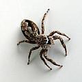Elegant Jumping Spider by Christina Rollo