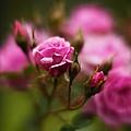 Elegant Pink by Mike Reid