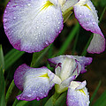 Elegant Purple Iris by Marie Hicks