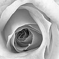 Elegant Rose In Black And White by Vishwanath Bhat
