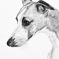 Elegant Whippet by Kate Sumners
