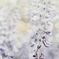 Elegant Wisteria by Darren Fisher