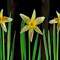 Elegant Yellow Flowers On Green Shoots by Navin Joshi