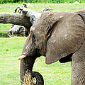 Elephant by Aimee L Maher ALM GALLERY