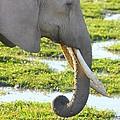 Elephant by Amanda Stadther