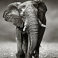 Elephant Approach From The Front by Johan Swanepoel