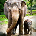 Elephant Baby Olli With Mommy by Lainie Wrightson