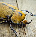 Elephant Beetle by Aged Pixel