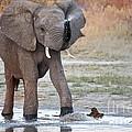 Elephant Calf Spraying Water by Liz Leyden