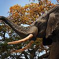 Elephant by Carlos Diaz
