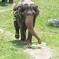 Elephant by Carol Ailles