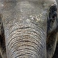 Elephant Close Up 1 by Tom Conway
