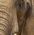 Elephant Close Up by Svetlana Sewell