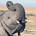 Elephant Curling Trunk by Liz Leyden