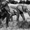 Elephant Family by Vedran Vidak