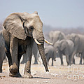 Elephant Feet by Johan Swanepoel