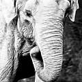 Elephant IIi by Athena Mckinzie