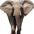 Elephant Isolated by Johan Swanepoel