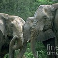 Elephant Ladies by Gary Gingrich Galleries