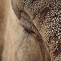 Elephant Lashes by Ernie Echols