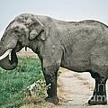 Elephant Roadblock by Liz Leyden