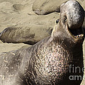 Elephant Seal by Bob Christopher