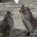 Elephant Seal Confrontation by Mark Newman