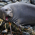 Elephant Seal Of Ano Nuevo State Reserve by Priscilla Burgers