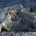 Elephant Seal Pup... by Nina Stavlund