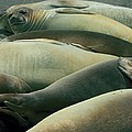 Elephant Seal Pups by Amanda Stadther
