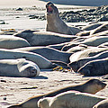 Elephant Seals At Ano Nuevo State Park California by Natural Focal Point Photography