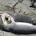 Elephant Seals by Jeff Lowe