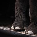 Elephant Toes by Bob Orsillo