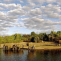 Elephants In Chobe by Marc Levine