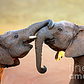 Elephants Touching Each Other by Johan Swanepoel