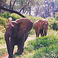 Elephants Walking by Belinda Greb