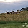 Elk 2 by Monica Havelka