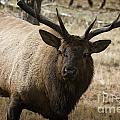 Elk-animals-image by Wildlife Fine Art