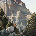 Elk At Cathedral Rock by Mike Stinnett